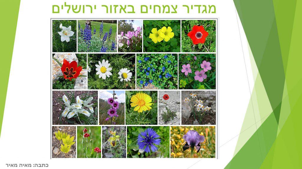 מגדיר צמחים שגדלים באיזור ירושלים by maya meir - Illustrated by מאיה מאיר  - Ourboox.com