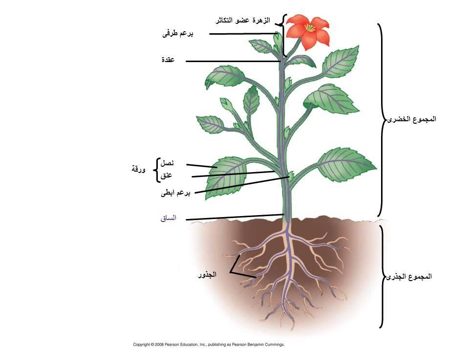 النبات الزهري by muatasem - Illustrated by معتصم الشرباتي - Ourboox.com