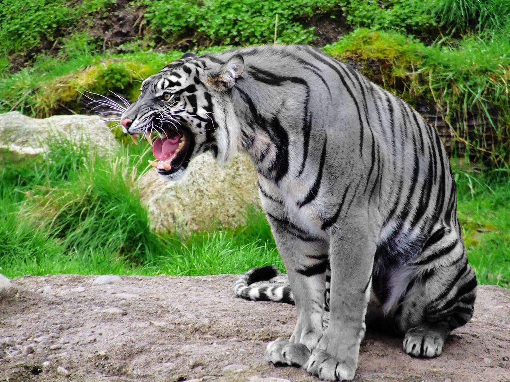 Тигри by Georgi - Ourboox.com