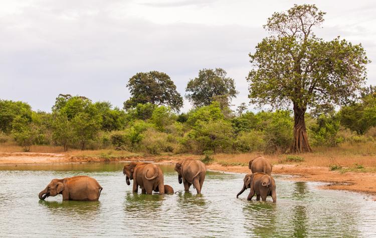 Sloni v Uda Walawe