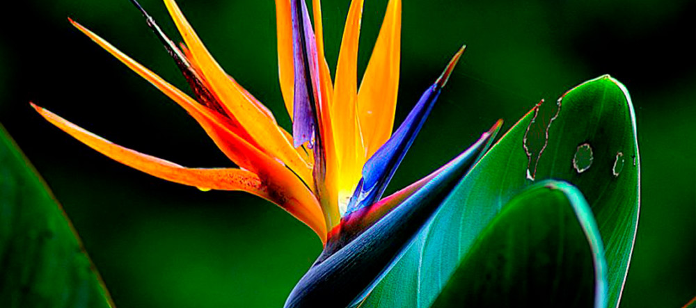 flor-ave-paraiso