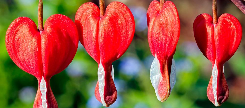 flor-corazon-sangrante