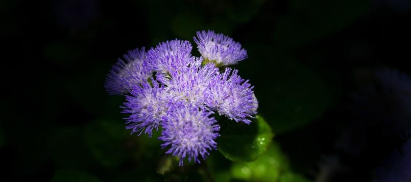 Agerantum-flores-del-otoño-6