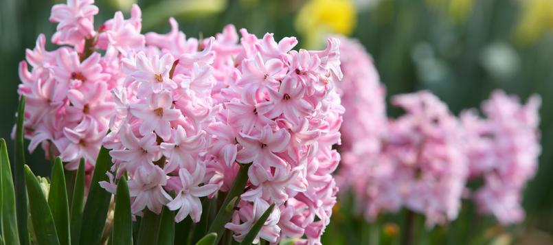 Jacinto-una-de-las-flores-de-invierno-7