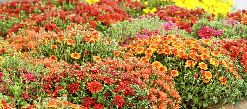 Flores-del-otoño-8