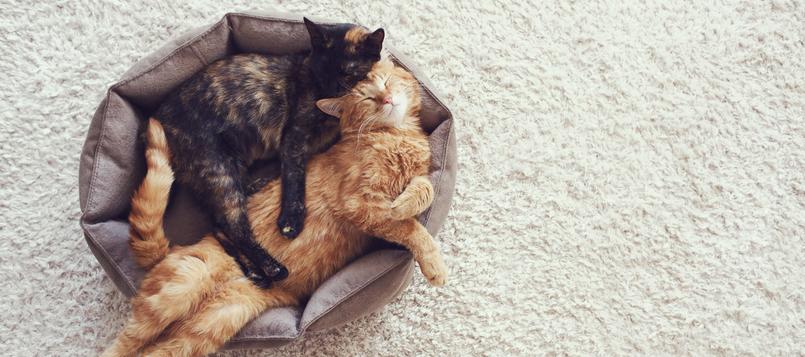 Cómo-hacer-qué-mi-gato-se-acostumbre-a-otro-animal-1