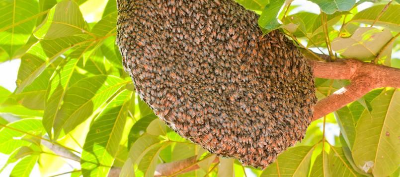 En el enjambre, las abejas se preparan para crear una nueva colmena.