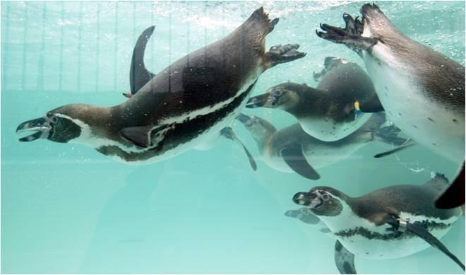 Penguins at Paultons Park 1