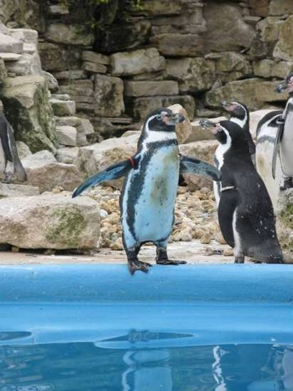 Penguins at Paultons Park 2