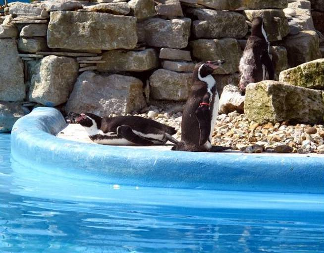 Penguins at Paultons Park
