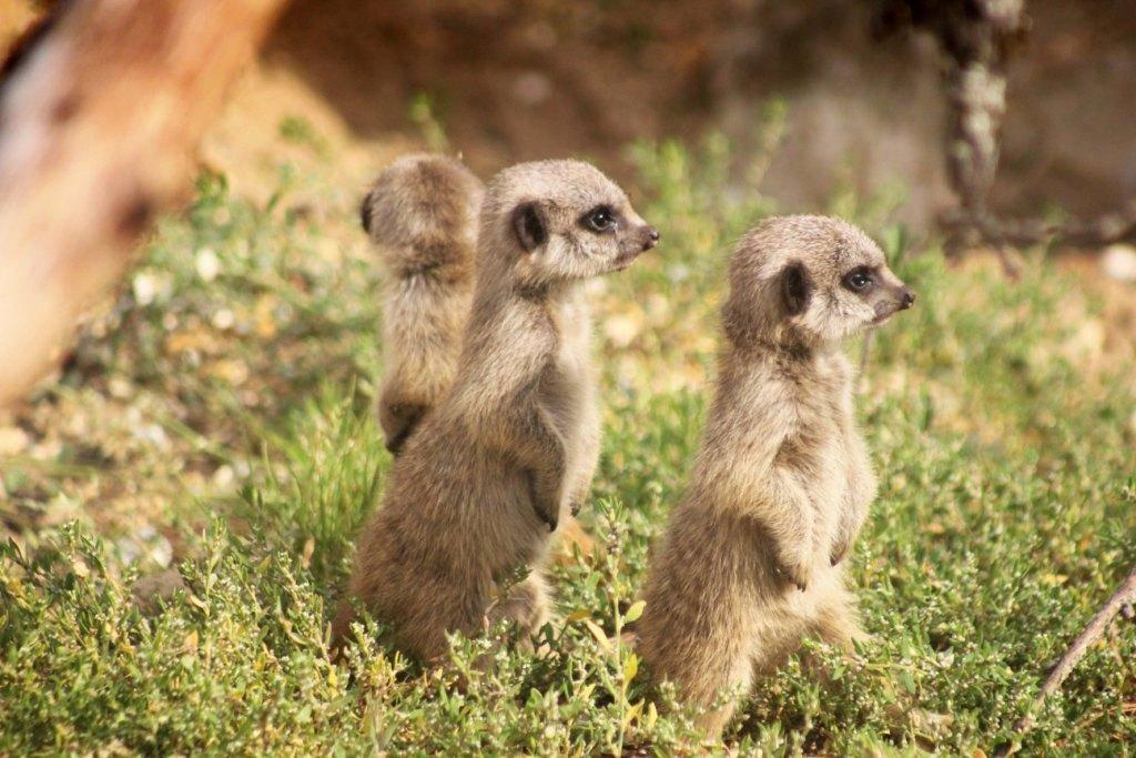 Meerkat Pups at Paultons