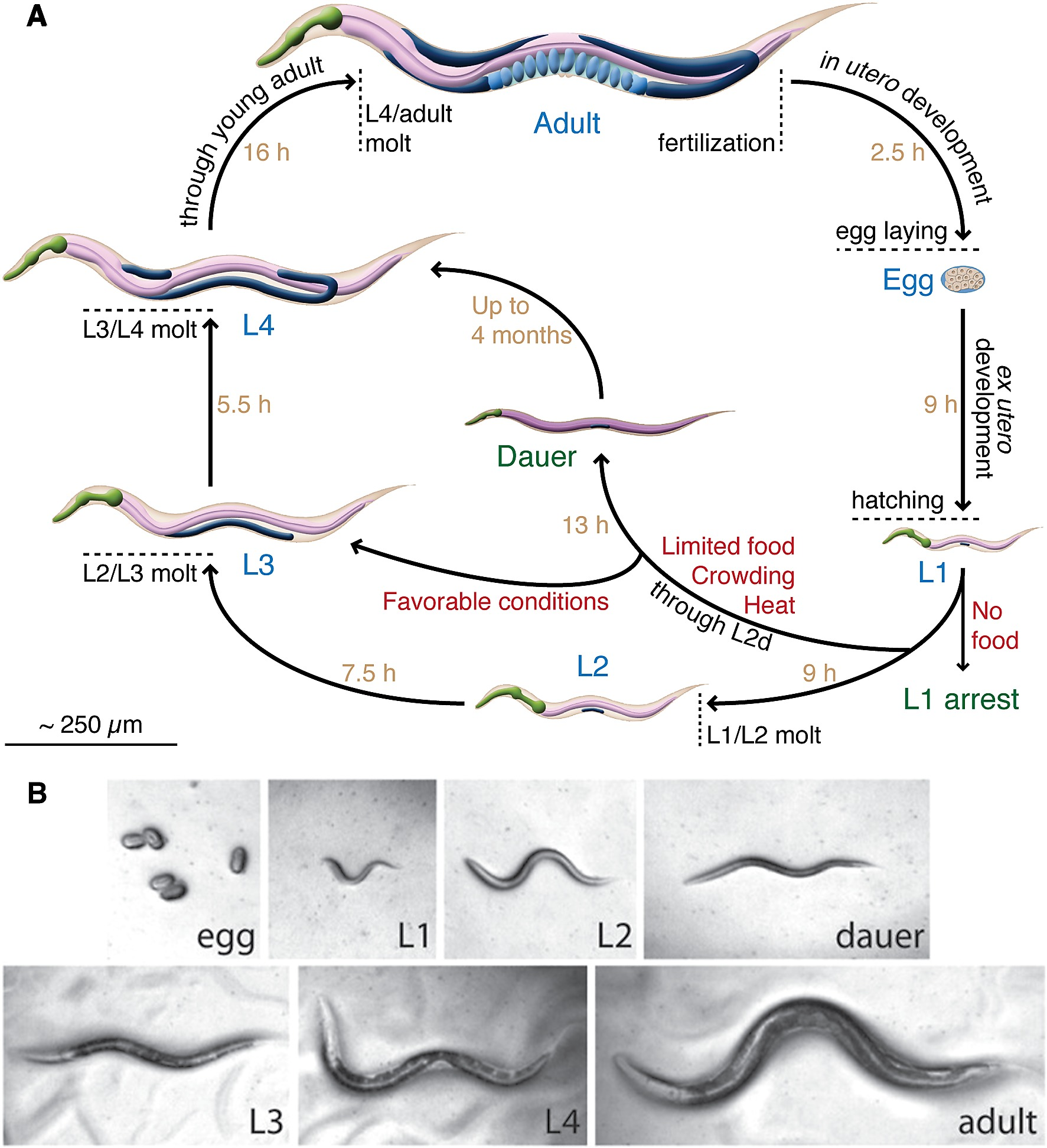 C. elegans life cycle and developmental stages