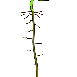 arabidopsis seedling cartoon