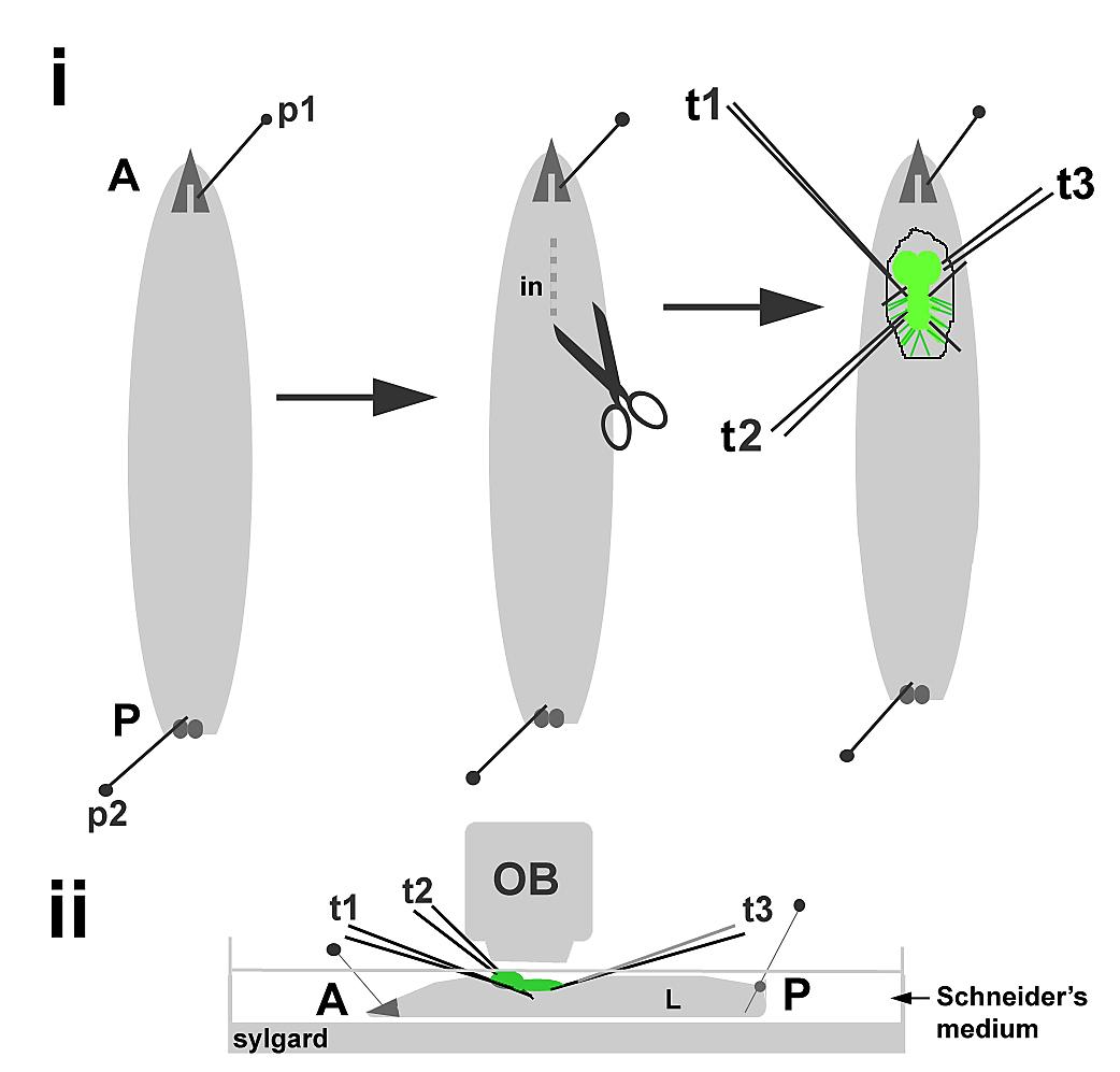 CNS-hoisting: A semi-intact Drosophila larval preparation for ...