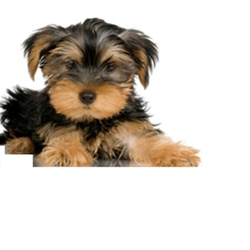 Lost dog on 02 Apr 2010 in rathfarnham/dodder road. Lost in rathfarnham / dodder road area ON GOOD FRIDAY 2ND APRIL AT ABOUT 7.30PM..SMALL FEMALE YORKSHIRE TERRIER PUP 6 Months old.  no collar on her. our children are very upset. please call 086 3805660 thank you