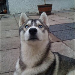 Lost dog on 18 Mar 2009 in cork city. MISSING!! very friendly siberian husky 15 months old..cork city..please contact Anthony on 0879054674