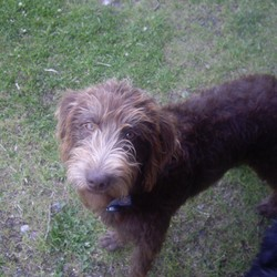 Lost dog on 25 Oct 2008 in wicklow. this is Lara.  She and her sister Lily have been missing (Stolen !!) since the 25th Oct 08.  We were recently reunited with Lily after 6 months away from home.  We are hoping to have the same good luck again with Lara!! any help would be much appreciated
