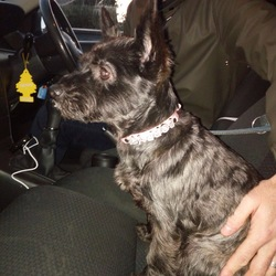 Found dog on 12 Nov 2017 in Clpntarf. Black dog Poppy