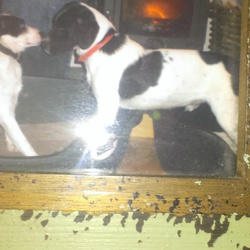 Lost dog on 25 Dec 2017 in Spiddal galway. Black and white medium size.lost in spiddal area.Ran away when three was fireworks.friendly.plz ring 0879756451 If any info