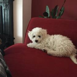 Lost dog on 01 Jan 2018 in Mervue, Galway. 7 month old Bichon Frise missing from Mervue, Galway. Answers to the name of Zara.Chipped but not wearing a collar. Went missing on new years eve night. please call 087 2716884 with any information