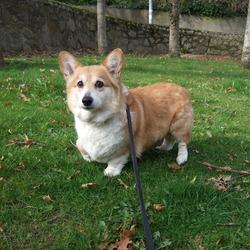 Reunited dog 24 Apr 2009 in Co Dublin. Honey is a 9 years old registered Welsh Pembroke Corgi.