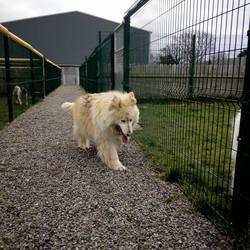 Dog looking for home 26 Feb 2018 in meath_pound,,.... surrendered needs a home...Ref 42 Lexi, German Shepherd x, female, surrendered to the pound, another poor girl looking for a nice retirement home, contact the pound on 0870983911 if you can help