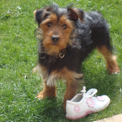 Lost dog on 28 Apr 2009 in Swords. Charlie 6 months old yorkshire terrier. Black and brown in colour. Has a white patch on his chest, and two white nails on his back left paw. His family are devastated. Any information to 0873108722 or 0879917294. A reward will be given on Charlies safe return home.