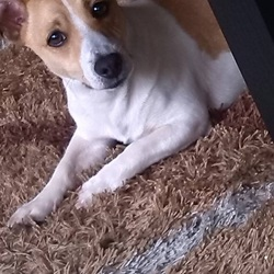 Dog looking for home 25 Jul 2018 in Dublin 1. Male Jack Russell aged 4 years, Name is Max, very friendly and playful, good with children. Vaccinated.