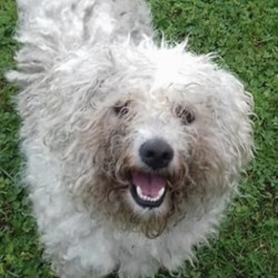 Found dog on 17 Aug 2018 in athboy vets. found..Meath Dog Shelter 2 mins ·  Ref 196 bichon frise, male, just in from athboy vets, any information contact the pound on 0870973911