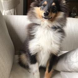 Found dog on 19 Aug 2018 in Delgany, greystones, bray. Shetland sheepdog, small mostly black