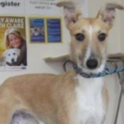 Found dog on 20 Aug 2018 in Rathnew. found..is a female lurcher found in the Rathnew. Please contact Wicklow Dog Pound at 0404-44873 for further information.