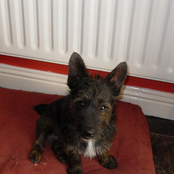 Found dog on 28 Jun 2010 in galway. small dog(terrier, wire haired) found in ballybane area galway. very friendly.