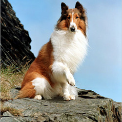 Lost dog on 29 Jun 2010 in Wexford. Border Collie lost since the 28th june 2010. She is brown and white and answers to the name of Misty. She was last seen in Rosslare Harboour, co wexford.