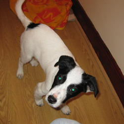 Reunited dog 04 May 2009 in Edenderry, Co Offaly. Black and white puppy found in the Sycamores in Edenderry on Sunday 4th May 09. Playful little thing with a detailed collar. Would like to reunite with mammy and daddy. My no 0870654225. Thks. Niall