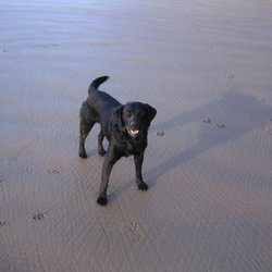 Lost dog on 01 May 2009 in Kerry. Black Labrador called Bouncer. Missing from Ballybunion, Co Kerry since the May bank holiday weekend. A well known character at the beach in Ballybunion for the last 7 years. Brown Collar. Large Reward.