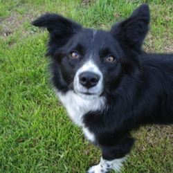Lost dog on 18 Apr 2009 in Arklow, Co. Wicklow. URGENT APPEAL – Lost Black and White Collie 