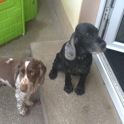 Dog looking for home 28 Sep 2010 in Kerry. 2 pedigree cocker spaniels, one black, one chocolate both male. Old dogs (9years) but still very energetic.  Looking to re-home due to change in family circumstances, v friendly and loveable.