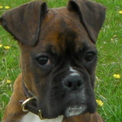 Lost dog on 22 May 2009 in kiltullagh,loughrea. She answers to the name chelsea.has a white chest and dark brown body and white paws..lost her around kiltullagh ,loughrea .Co galway please contact me on 0872798508 0r harvkub@hotmail.com