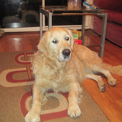 Dog looking for home 25 Nov 2010 in Cork. Male golden retriever found in the Ballincollig area, approx 3 years old. He is neutered, has a good temperment and is very good with children and other dogs... looking for a good home. Contact Jim 0877940506