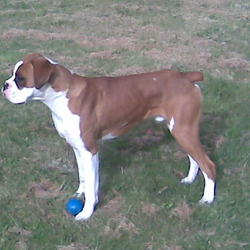 Lost dog on 25 May 2009 in Limerick. boxer,family dog kids are heart broken, was wearing a silver chain collor with name tag, is suspected to have been stolen in the patrickswell limerick area,could be anyhere now, he is just over ten months old, answers to bruce, has a white spot over his back left hip, reward if found,please contact us asap call Pat on 0862513538 or Chris on 0879142126 he is also microchipped