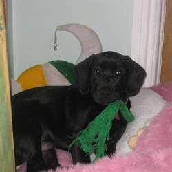 Reunited dog 30 May 2009 in Howth, Co. Dublin.. Alfie is a black lab. who went missing in Howth on Saturday 30/05/09. He has a blue collar with stones. Very affectionate.  Would really appreciate a safe return, really loved by children.  Ph:  086 0625271.  Thankfully Alfie was reunited with us the following day.