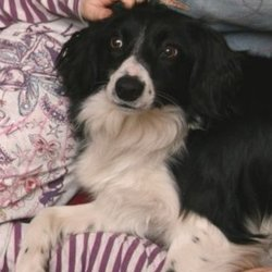 Reunited dog 30 May 2009 in Dublin. Black and white female border collie. Lost in the Crumlin area on Saturday May 30th. Has one ear that sticks up while the other flops over. Answers to