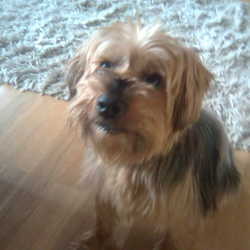 Lost dog on 01 Jun 2009 in Mayo. lost yorkshire terrier dog called Timmy outside Newport, Co. Mayo on the 1st June.Am devastated, please call 087 9260445