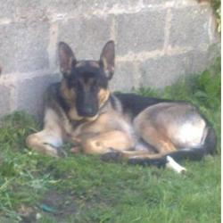Lost dog on 29 May 2009 in Jenkinstown Area, outside Dundalk Co. Louth. Missing / Stolen on 29th of May from Jenkinstown Area, outside Dundalk Co. Louth.Dio is a 10 Month Old, Male,mostly black, Short haired German Shepherd.He's microchipped.Reward Offered. Any details please.