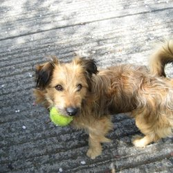 Lost dog on 05 Jun 2009 in Mount Merrion/ Stillorgan. Small, sandy-coloured shaggy hair with some black on ears, large fluffy tail, large dark eyes, 4 years old, has brown leather collar on but is not microchipped. Name Rusty. Please call 0872897889 / 0876777339 / (01) 4932790