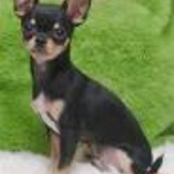 Lost dog on 06 Jul 2009 in phoenix arizona, USA. 1 pound chiuiua male dark brown named cheeewawa