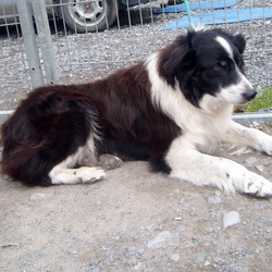 Found dog on 07 Jun 2009 in Athenry Co. Galway . Border Collie found on the 7 June 2009 in Athenry Co. Galway