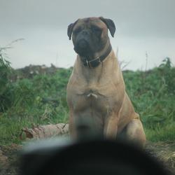 Lost dog on 30 Mar 2009 in killavullen malow co cork.   stolen bull mastif name kizer 087 6457893.
