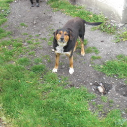 Dog looking for home 13 Jun 2009 in Athenry. Rocky
