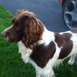 Lost dog on 11 Jun 2009 in Portlaoise. Brown and white Springer Spaniel, 2 years of age, microchipped. He is a family pet, and we miss him soo much. My 4 year old is heartbroken. Please if you have any info call: 0851690272